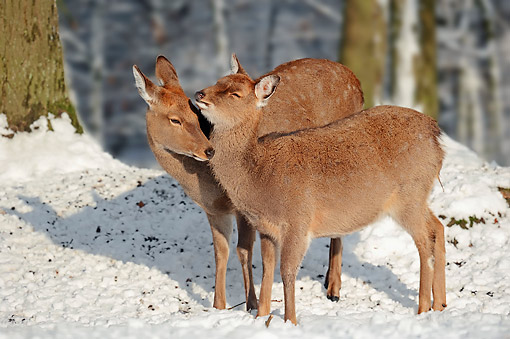 MAM 25 AC0005 01 © Kimball Stock Manchurian Sika Deer (Also Called Dybowski's Sika Deer) Females Nuzzling In Winter