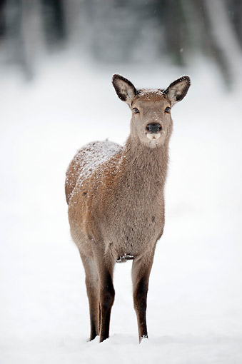MAM 25 AC0006 01 © Kimball Stock Red Deer Female Standing In Snow