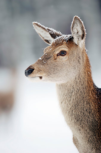 MAM 25 AC0007 01 © Kimball Stock Red Deer Female Portrait In Snow