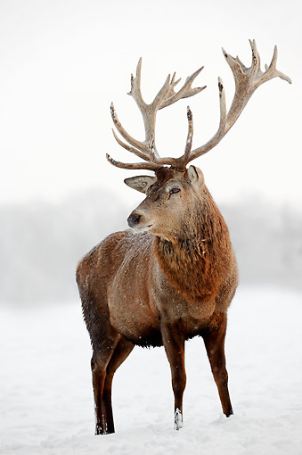 MAM 25 AC0008 01 © Kimball Stock Red Deer Buck Portrait In Snow