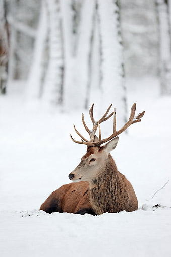 MAM 25 AC0009 01 © Kimball Stock Red Deer Laying In Snow
