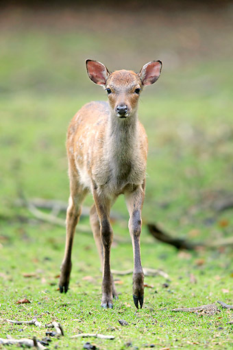 MAM 25 AC0014 01 © Kimball Stock Sika Deer Fawn Standing In Meadow