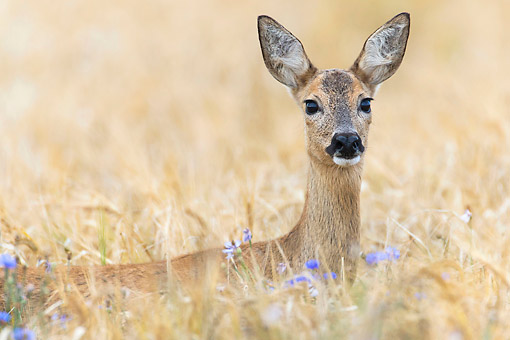 MAM 25 AC0016 01 © Kimball Stock Roe Deer Doe Looking Out From Grass In Lower Saxony, Germany