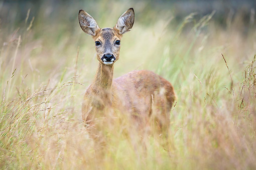 MAM 25 AC0020 01 © Kimball Stock Roe Deer Doe Exploring In Lower Saxony, Germany