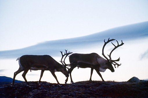 MAM 25 BA0001 01 © Kimball Stock Two Caribou Bulls Walking On Mountain Profile