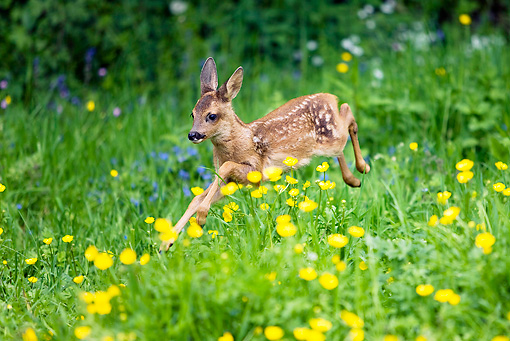 MAM 25 GL0001 01 © Kimball Stock Roe Deer Fawn Running Through Grass And Buttercups