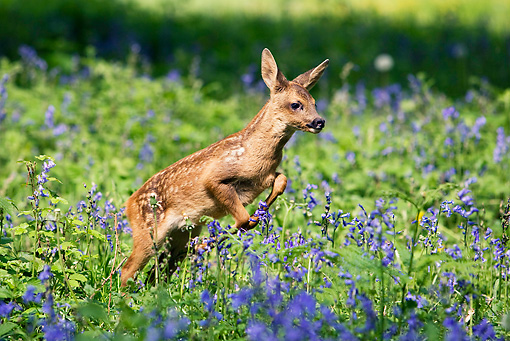 MAM 25 GL0002 01 © Kimball Stock Roe Deer Fawn Leaping Through Grass And Purple Flowers
