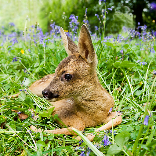 MAM 25 GL0003 01 © Kimball Stock Roe Deer Fawn Laying On Grass And Flowers