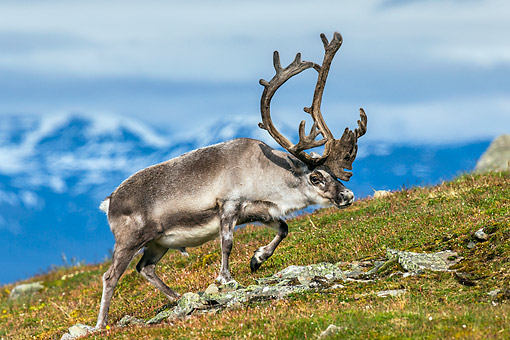 MAM 25 KH0003 01 © Kimball Stock Svalbard Reindeer Moving Across Tundra In Svalbard, Norway