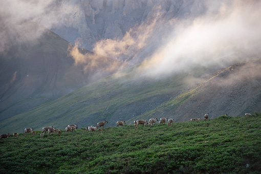 MAM 25 NE0002 01 © Kimball Stock Group Of Porcupine Caribou Walking Through Foothills Of Brooks Range In Arctic National Wildlife Refuge, Alaska