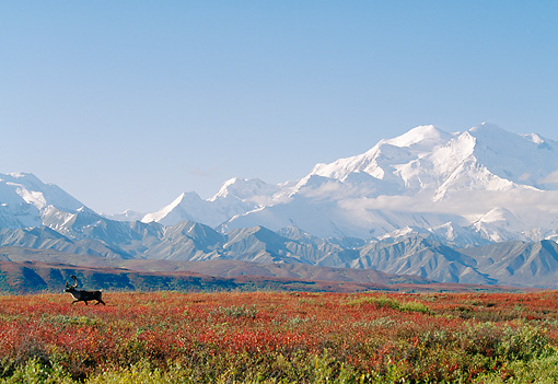 MAM 25 NE0003 01 © Kimball Stock Barren-Ground Caribou Bull Walking Through Autumn Tundra Mt. McKinley, Alaska