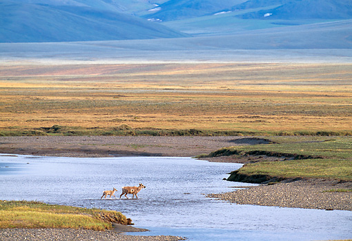 MAM 25 NE0004 01 © Kimball Stock Barren-Ground Porcupine Caribou Adult And Young Walking Through Water Arctic National Wildlife Refuge Alaska