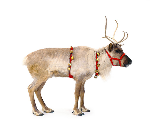 MAM 25 RK0003 19 © Kimball Stock Female Reindeer With Bells On White Seamless