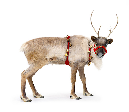 MAM 25 RK0003 21 © Kimball Stock Female Reindeer With Bells On White Seamless
