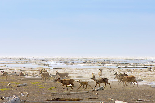 MAM 25 SK0003 01 © Kimball Stock Herd Of Caribou Running On Beach