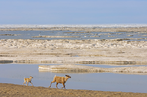MAM 25 SK0004 01 © Kimball Stock Caribou Mother And Calf Running On Beach
