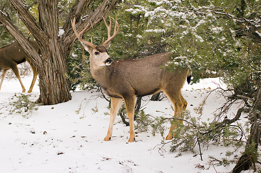 MAM 25 SK0006 01 © Kimball Stock Bull Mule Deer Standing In Snow In Grand Canyon National Park
