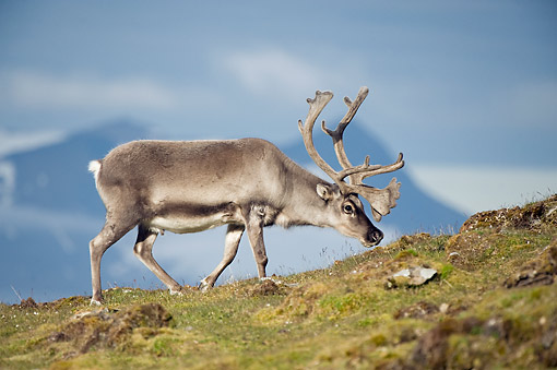 MAM 25 SK0007 01 © Kimball Stock Svalbard Reindeer Foraging On Tundra During Summer In St. Jonsfjorden, Svalbard