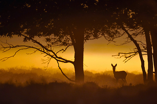 MAM 25 WF0004 01 © Kimball Stock European Roe Deer Doe Standing In Meadow At Night