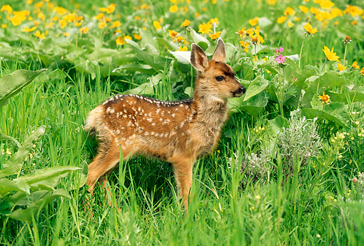 MAM 25 RW0001 01 © Kimball Stock Two Week Old Mule Deer Fawn In Spring Wildflowers