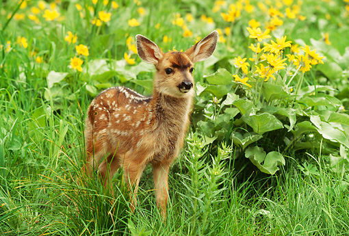 MAM 25 RW0002 01 © Kimball Stock Two Week Old Mule Deer Fawn In Spring Wildflowers