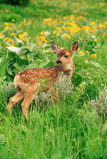 MAM 25 RW0003 01 © Kimball Stock Two Week Old Mule Deer Fawn In Spring Wildflowers