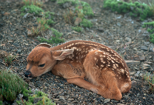 MAM 25 TL0001 01 © Kimball Stock Black-tailed Deer Fawn Laying On Dirt