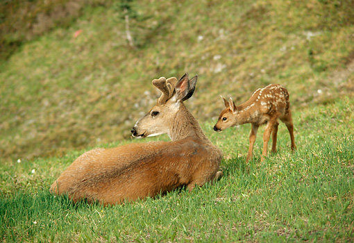MAM 25 TL0003 01 © Kimball Stock Black-tailed Buck With Curious Fawn On Grass