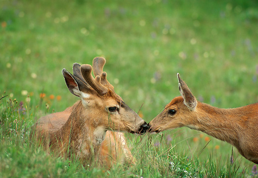MAM 25 TL0004 01 © Kimball Stock Black-tailed Doe And Buck Greeting On Grass