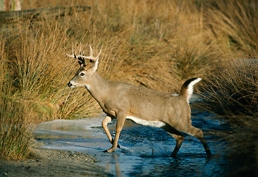 MAM 25 TL0005 01 © Kimball Stock Profile Portrait Of White-tail Deer Buck In Water
