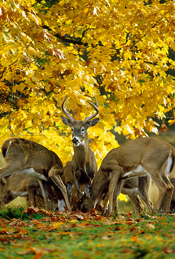 MAM 25 TL0007 01 © Kimball Stock Portrait Of White-tailed Deer In Fall