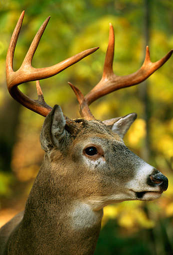 MAM 25 TL0010 01 © Kimball Stock Portrait Head Shot Of White-tailed Deer Buck