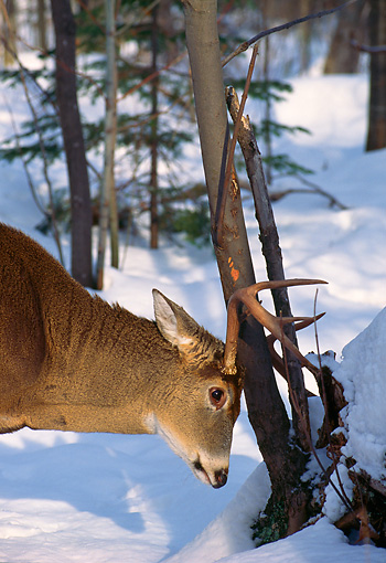 MAM 25 TL0012 01 © Kimball Stock Portrait Head Shot Of White-tailed Deer Buck Rubbing Tree In Snow