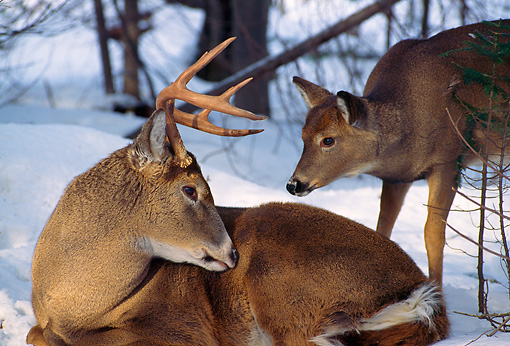 MAM 25 TL0016 01 © Kimball Stock White-Tailed Buck And Doe In Winter