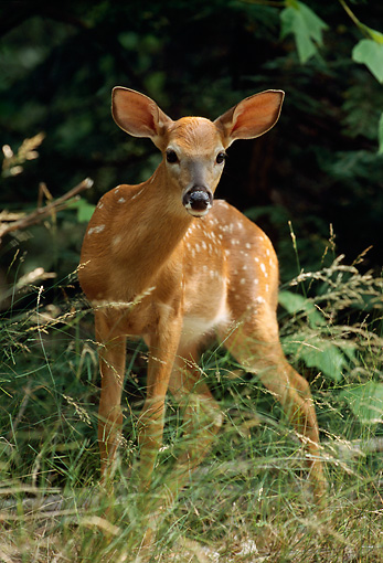MAM 25 TL0017 01 © Kimball Stock Portrait Of White-tail Deer Fawn