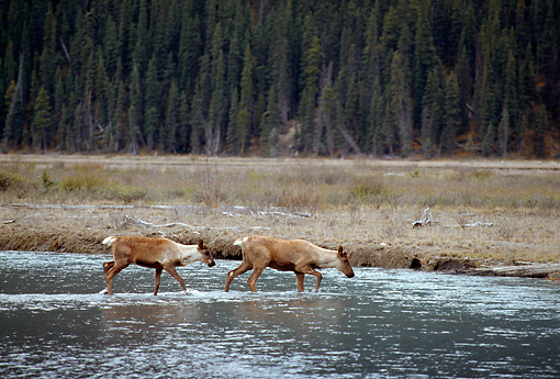 MAM 25 TL0031 01 © Kimball Stock Profile Of Two Woodland Caribou Crossing A River Near A Pine Forest