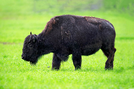 MAM 26 AC0003 01 © Kimball Stock Wood Bison (Also Mountain Bison) Searching For Food At Alaska Wildlife Conservation Center In Anchorage, Alaska, USA