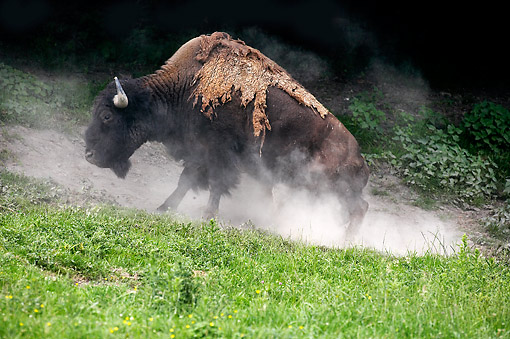 MAM 26 GL0001 01 © Kimball Stock American Bison Taking Dust Bath