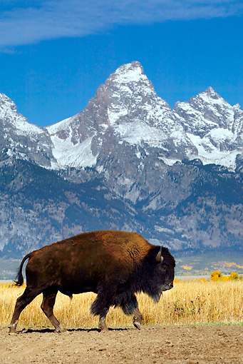 MAM 26 KH0002 01 © Kimball Stock American Bison Walking In Field By Mountains