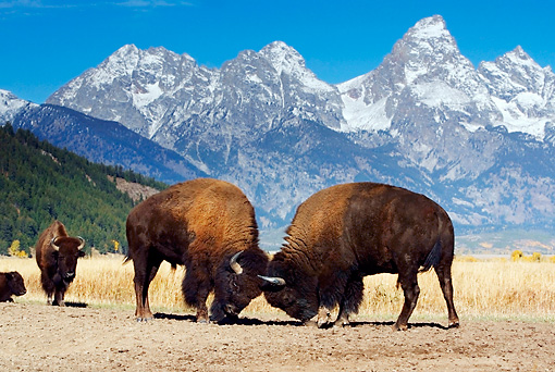 MAM 26 KH0003 01 © Kimball Stock Two American Bison Bulls Fighting In Field By Mountains