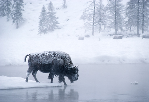MAM 26 MC0002 01 © Kimball Stock Bison Crossing Icy River Yellowstone National Park