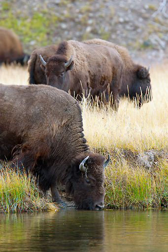 MAM 26 MC0003 01 © Kimball Stock Herd Of Bison Grazing And Drinking In Yellowstone National Park
