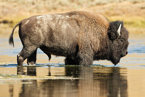 MAM 26 MC0004 01 © Kimball Stock Bison Bull Crossing River Yellowstone National Park