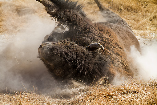 MAM 26 MC0007 01 © Kimball Stock Close-Up Of Bison Bathing In Dust Yellowstone National Park