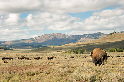 MAM 26 MC0010 01 © Kimball Stock Herd Of Bison In Lamar Valley Yellowstone National Park