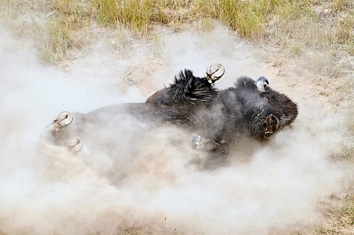 MAM 26 TL0027 01 © Kimball Stock American Bison Bull Wallowing In Dust During Summer Mating Season