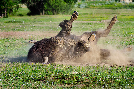 MAM 26 TL0029 01 © Kimball Stock American Bison Bull Wallowing In Dust During Summer Mating Season