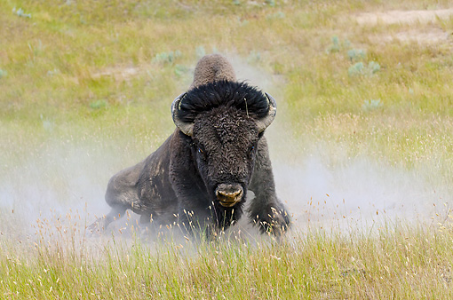 MAM 26 TL0030 01 © Kimball Stock American Bison Bull Wallowing In Dust During Summer Mating Season