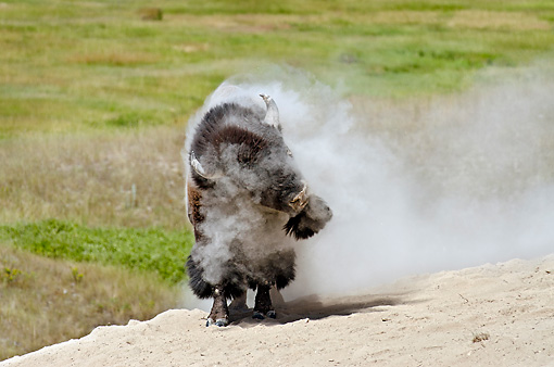MAM 26 TL0031 01 © Kimball Stock American Bison Bull Shaking Off After Wallowing In Dust During Summer Mating Season