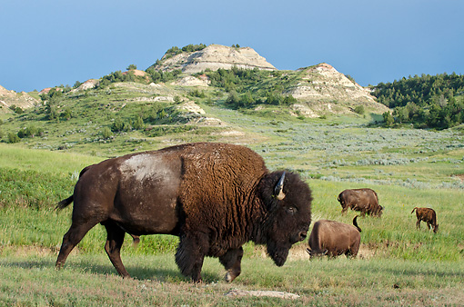 MAM 26 TL0034 01 © Kimball Stock American Bison Bull Walking Through Northern Great Plains, North Dakota